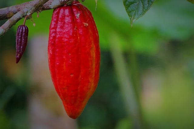 Cacao Pod Cacao Fruit Cacao Plant
